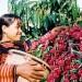 (日本語) 2015年1月のベトナムのコーヒー輸出量は12万トン