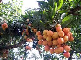 Hai Duong省の最も古いレイシの木